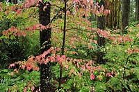 Fall colors, Forest, leaves, Calaveras Big Tree, State Park, California, USA, United States, America, trees, wood, forest