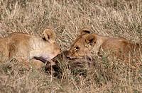 leone, panthera leo, masai mara, kenya