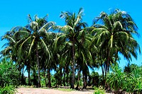 Coconut trees at the Saint MartinÆs Island, locally known as Narkel Jinjira It is the only coral island and one of the most famous tourist spots of Ba...
