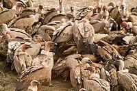Spain , province of Lleida , Eurasian Griffon Vulture  Gyps fulvus.