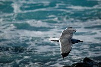 Larus argentatus, El Golfo, sky, seagull, gull, bird, animal, knows, blue, Canary islands, isle, Spain, Europe, herring gull, sea