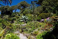 Subtropical plants including Agave Americana cactus, The Abbey Gardens, Tresco, Isles of Scilly, United Kingdom, Europe
