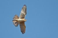 American Kestrel Falco sparverius flying at the Bosque del Apache wildlife refuge near Socorro, New Mexico, United States of America.