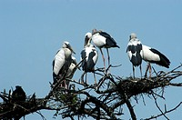 STORKS IN BHARATPUR BIRD SANCTUARY, RAJASTHAN,INDIA