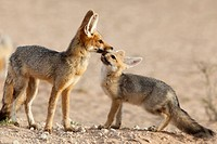 Cape fox with cub Vulpes chama, Kgalagadi Transfrontier Park, Northern Cape, South Africa, Africa