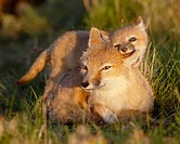 Swift fox Vulpes velox kit biting its mother´s ear, Pawnee National Grassland, Colorado, United States of America, North America