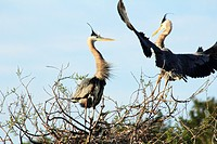 Mating and nesting behavior at a great blue heron nest at the Venice Heronry in Venice,Florida,USA