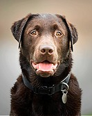 UK, Suffolk, Thetford Forest, Portrait of chocolate labrador