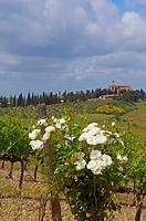 Montalcino, Vineyards, Castello Banfi Vineyards, Val d´Orcia, Orcia Valley, UNESCO World Heritage Site, Siena Province, Tuscany, Tuscany landscape, It...