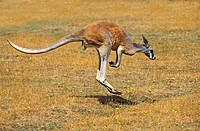 RED KANGAROO macropus rufus, MALE MOVING ON DRY GRASS, AUSTRALIA