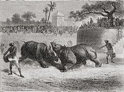 A Rhinoceros fight in Baroda, India in the 19th century  From El Mundo en la Mano, published 1878