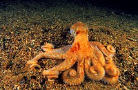 Spider octopus or Long-armed octopus (Octopus salutii), Eastern Atlantic, Galicia, Spain