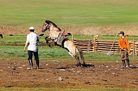 Mongolia, Ovorkhangai district, Orkhon valley, training horse
