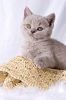 British Shorthair cat _ kitten _ sitting