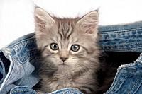 Maine Coon cat _ kitten in jeans