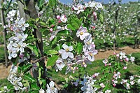 Half_standard apple tree Malus domestica orchard flowering in spring, Hesbaye, Belgium