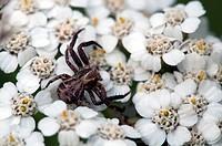 Krabbenspinne _ Thomisidae