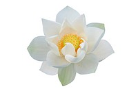 White lotus on white background