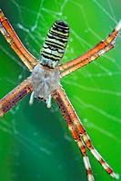Wasp Spider Argiope bruennichi on its web