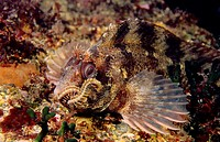 Tompot Blenny (Parablennius gattorugine) devouring worm, Eastern Atlantic, Galicia, Spain
