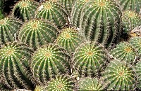 Close up of a cluster of cacti heads Family Cactaceae with their sharp spines