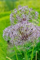 Ornamental garden alliums, in full flower, UK, June