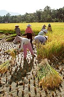 Farmers harvesting at paddy field, pontianak, indonesia, borneo