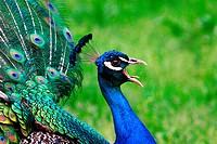 Pavo cristatus - Peacock scream