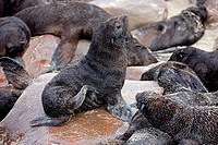 SOUTH AFRICAN FUR SEAL arctocephalus pusillus, YOUNG DRYING FUR ON ROCK, CAPE CROSS IN NAMIBIA