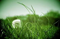 Dandelion growing in grassland