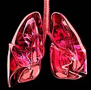 Artwork of the lungs showing the trachea windpipe, at top dividing into two bronchi which lead into each lung. The lungs have multiple lobes and are t...