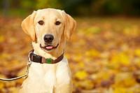 Junger Labrador Retriever in einem herbstlichen Park