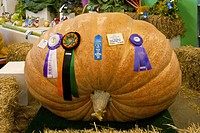 Winning giant pumpkin grown by Dale Marshall weighing 1101 pounds at the Alaska State Fair in Palmer, Matanuska_ Susitna Valley, Southcentral Alaska, ...