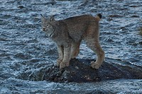 Adult Canada Lynx stands on a rock in the middle of Igloo Creek in Denali National Park and Preserve, Interior Alaska, Fall