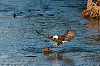 Bald Eagle catches a hooligan fish in its talons while fishing in the Alaganik Slough, Chugach National Forest, Cordova, Southcentral Alaska, Spring
