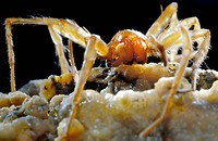 Cave spider. Close_up of a Lascona cristiani ´sac spider´ This predatory arachnid is found only in the Movile Cave, Romania, where life has been cut o...