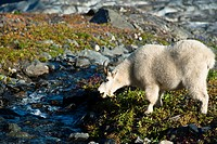 View of a mountain goat grazing on plants next to a stream near Harding Icefield Trail with Exit Glacier in the background, Kenai Fjords National Park...