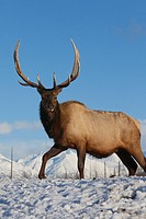 A mature Roosevelt Elk stands on snowcovered ground on a sunny day at Alaska Wildlife Conservation Center, Southcentral Alaska, Winter. CAPTIVE
