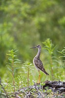 Greater yellowlegs standing alert on Copper River Delta near Cordova, Southcentral Alaska, Summer