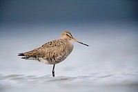 Junvenile Hudsonian Godwit resting in shallow water of Hartney Bay, Copper River Delta, near Cordova, Southcentral Alaska, Spring