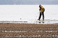 Birdwatcher photographs a large flock of Western Sandpipers and Dunlins on mud flats of Hartney Bay during spring migration, Copper River Delta, South...