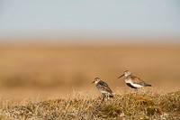 Semipalmated Sandpiper and Dunlin standing on tundra of the Arctic Coastal Plain, National Petroleum Reserve, near Barrow, Arctic Alaska, Summer