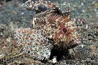 Longspine waspfish Paracentropgon longspinus  Lembeh Strait, Celebes Sea, North Sulawesi, Indonesia