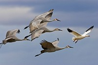 Sandhill crane flight