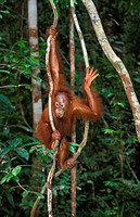 ORANG UTAN pongo pygmaeus, YOUNG HANGING FROM BRANCH, BORNEO