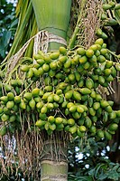 Areca catechu, Betel palm or Betel nut tree, Miao, Arunachal Pradesh, India