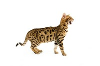 BROWN SPOTTED TABBY BENGAL DOMESTIC CAT, ADULT MEOWING