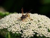 Ammi visnaga with wasp