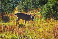 a deer walking in paradise park in autumn in mt. rainier national park, washington, united states of america