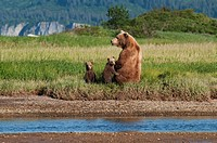 a grizzly bear ursus arctos horribilis and cubs next to the river, alaska, united states of america